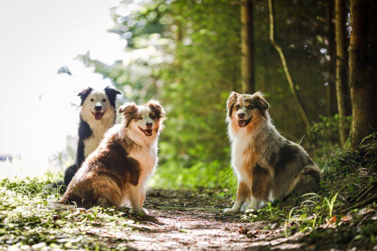 Drei Hunde sitzen auf einem Weg im Wald