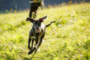 Hund läuft über die Wiese