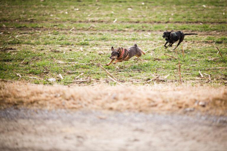 Zwei Hunde rennen über ein abgeerntetes Maisfeld