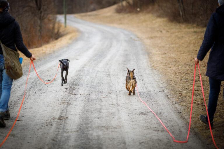 zwei Hund an der Schleppleine gehen voraus, jeweils mit Besitzer